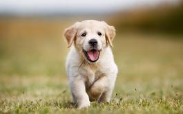 Curso a distancia de Enriquecimiento Ambiental en Perros